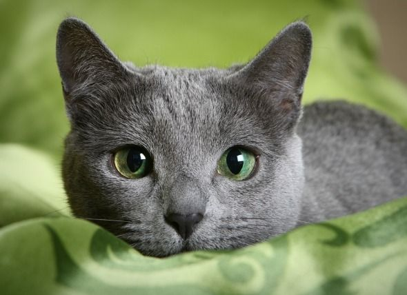 Hypoallergenic Cat Breeds   petMD--According to PetMd there are cat breeds that produce fewer allergens than others.
