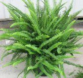 Water Ferns with two tablespoons of Epsoms Salts per gallon of water every other day or twice per week. Epsom salts are magnesium sulfate and give the plant the much needed boost of magnesium