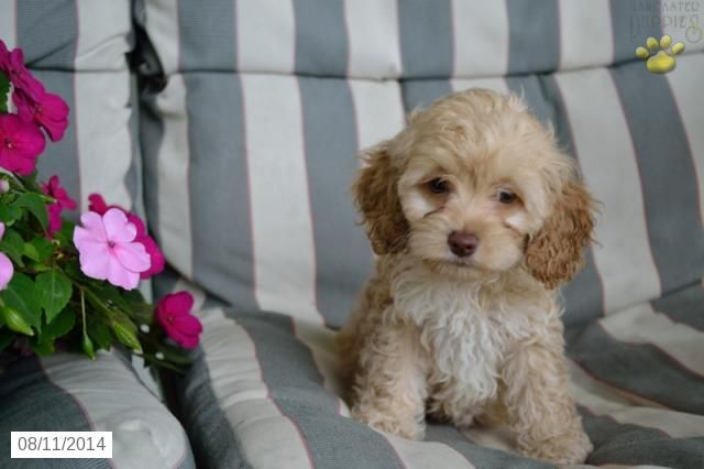 Cockapoo Puppy for Sale in Ohio......oh my...she might be