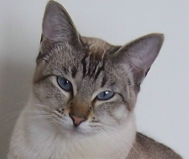 Snow Tiger Siamese Cats For Sale