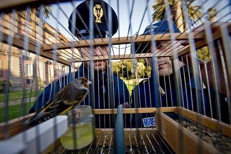 Uccelli protetti sequestrati ad Afragola Controlli Polizia contro commercio illegale