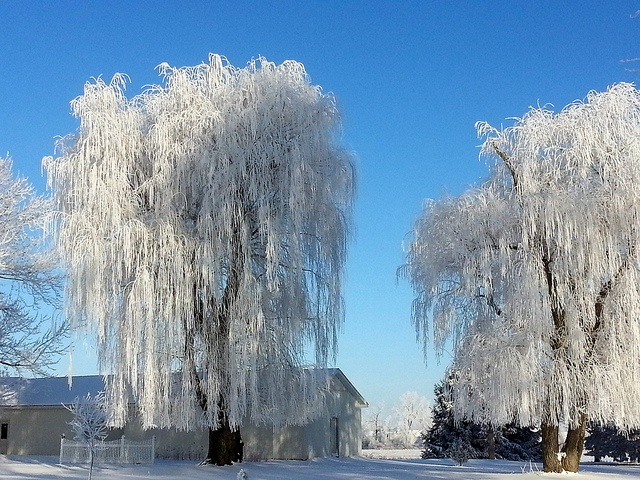 Natures Weeping Willow Drapes in Michigan