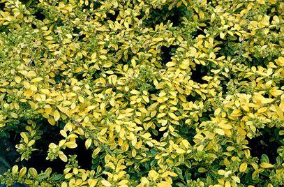 rhs plant selector ilex crenata 39 golden gem 39 f v agm rhs gardening smaller pot beside sky. Black Bedroom Furniture Sets. Home Design Ideas