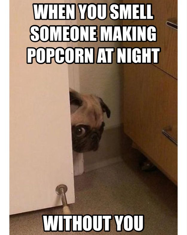 Pug: it's popcorn time! Oh there marking it without me . POPCORN HERE I COME!
