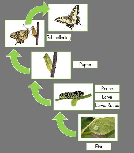 Tafelkarten zur Metamorphose des Schmetterlings – Luisa Preuß