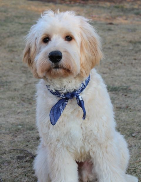 goldendoodle haircuts | MonthsJust when I thought I couldn't love him any more...
