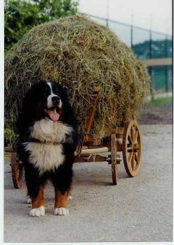 There are numerous cart pulling dogs, usually with other all-around farm dog instincts like herding, livestock guarding, etc.  This is the Bernese Mountain Dog hauling a load of hay.