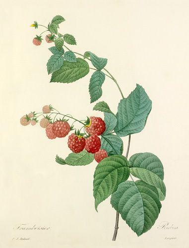 Framboisier : Rubus Art Print by Pierre Joseph Celestin Redouté Easyart.com