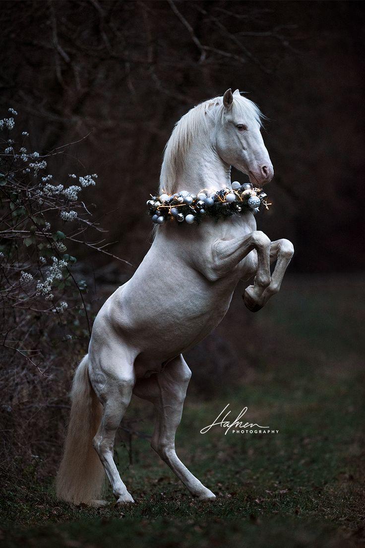 Lusitano Hengst in der Farbe Perlino steigt mit Weihnachtskranz um den Hals| Pferd | Bilder | Foto | Fotografie | Fotoshooting | Pferdefotografie | Pf…