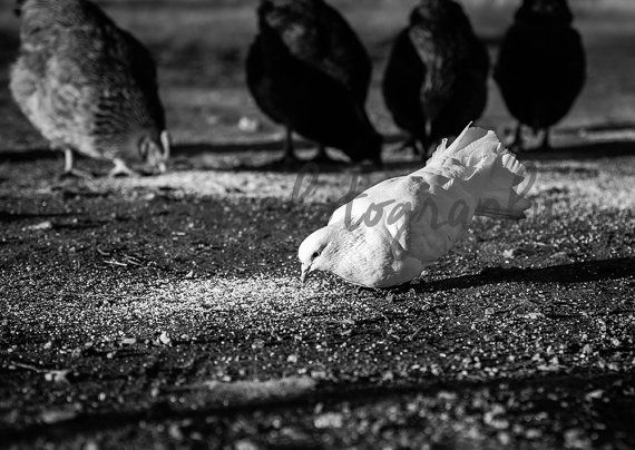 *******DIGITAL INSTANT DOWNLOAD*******  This is an original photograph of a Dove and Chickens, taken by EVM Photography.  This file is