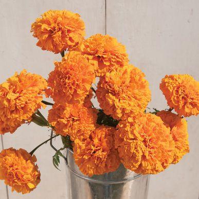 Giant Orange Marigold Seeds (Tagetes erecta) + FREE Bonus 6 Variety Seed Pack - a $30 Value!