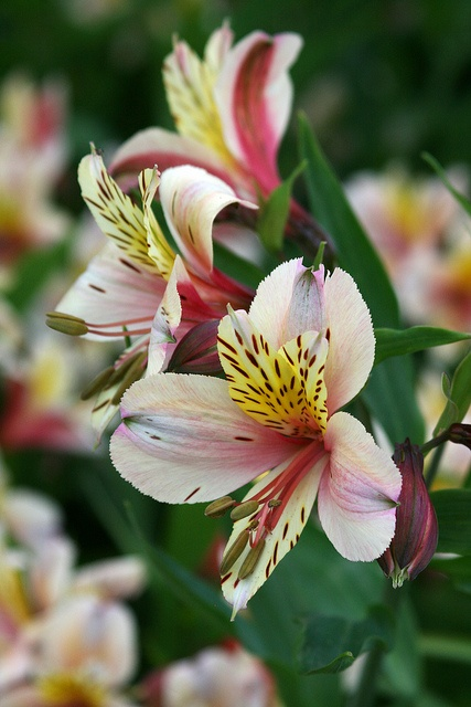 alstroemeria just flowers pinterest. Black Bedroom Furniture Sets. Home Design Ideas