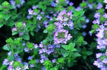 Tymián je nízký rozvětvený polokeř s protistojnými čárkovitými listy. Sklízíme nať na počátku kvetení a sušíme při teplotě do 35°C.http://www.semena-rostliny.cz/bylinky-semena/5963-tymi-n-obecn-l.html
