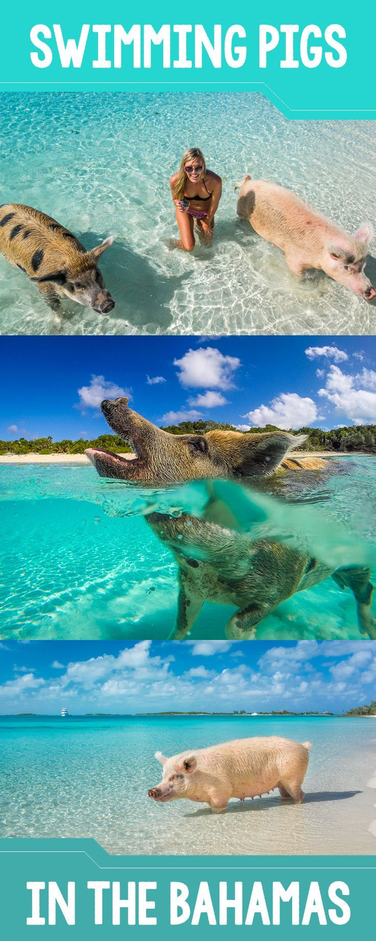Swimming with the pigs is a bucket list item! These cute little piggies live in the Exuma Cays in the Bahamas. Don't forget a tasty treat for these hungry guys.