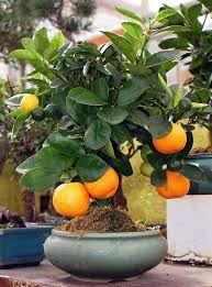 Resultado de imagen para bonsais mexico