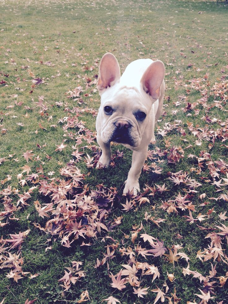 Bulldog frances - frenchi- puppy - 6 meses- white