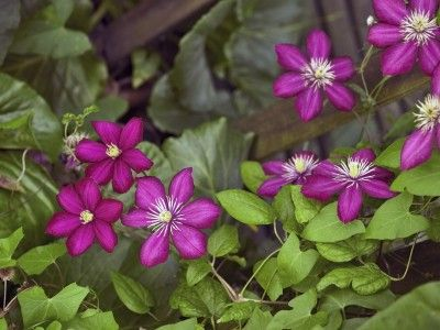 Types Of Clematis Plants: What Clematis Variety Do I Have -  There are a couple of ways to classify clematis. Whichever type you choose to grow, you can't do better than a glorious clematis in the garden. Read this article to learn about the types of clematis so you can enjoy this wonderful plant.