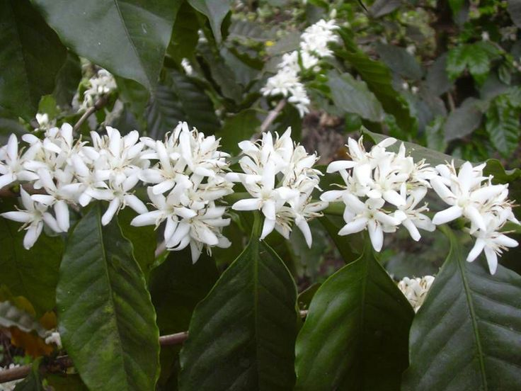 biele tropické kvety/ kávovník / - Hledat Googlem