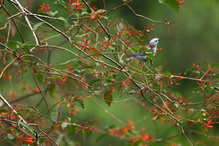 Azulejo Común en el Portal, Paraíso Natural.