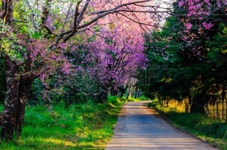 Prunus cerasoides or Wild Himalayan cherry or Thai sakura blooming during winter in Thailand on road Stock Photo