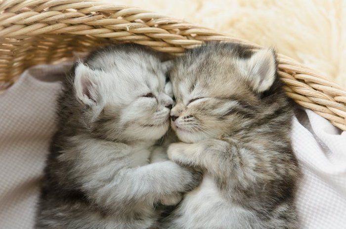 Hier Sind Zwei Katzen Graue Kleine Und Schlafende Susse Katzen Susse Gute Nacht Mein Schatz Bilder Baby Katzen Katzen Fotos Schlafende Tiere