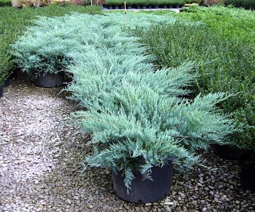 Pin On Landscape Plants