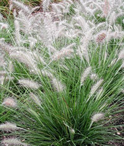 254 best images about ornamental grasses for sun and shade for Large ornamental grass plants