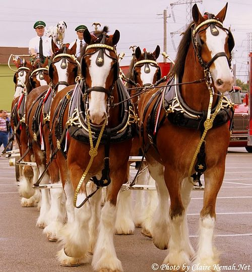 Pairs of Clydesdale Horses pulling a Carriage
