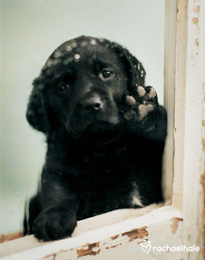 Black Labrador Retriever Puppy  #Dogs #Puppy