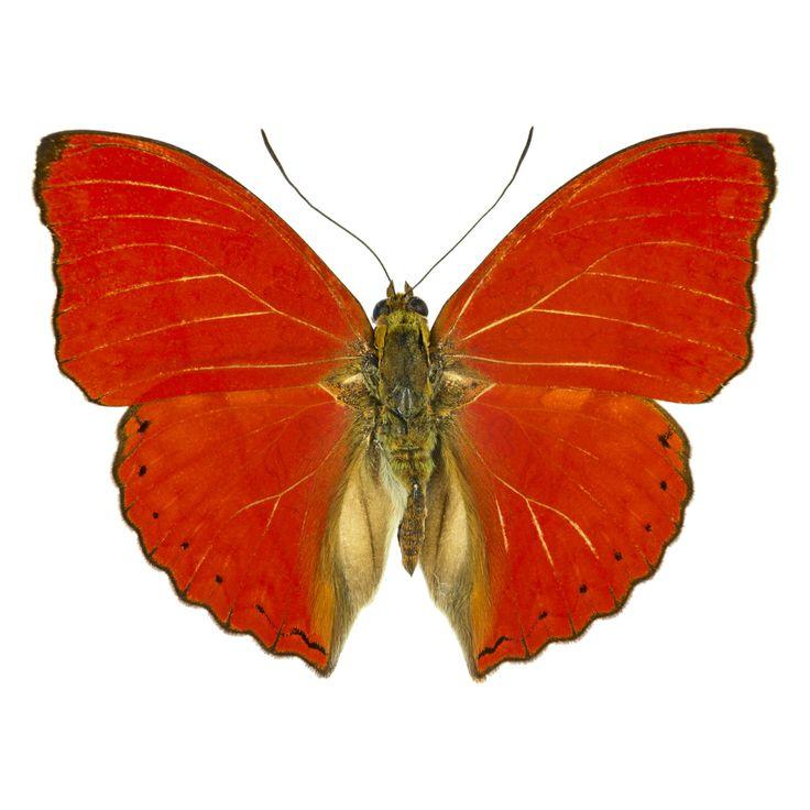 Ergonomic Chair Nigeria Game Of Thrones Replica De 60 Bästa Butterflies - Charaxes (blue-spotted,-bilderna På Pinterest