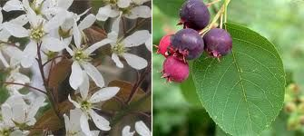 Amelanchier lamarckii - flower and fruit