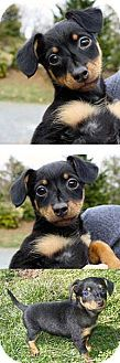 Chantilly, VA - Yorkie, Yorkshire Terrier/Yorkie, Yorkshire Terrier Mix. Meet Promise a Dog for Adoption.