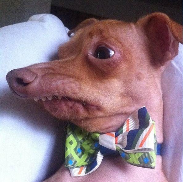 Meet Tuna the Chiweenie, Instagram's Cutest Dog With an ... - photo#4