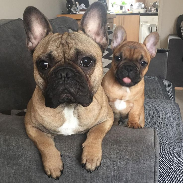 Eric & Ralph, French Bulldogs on Instagram