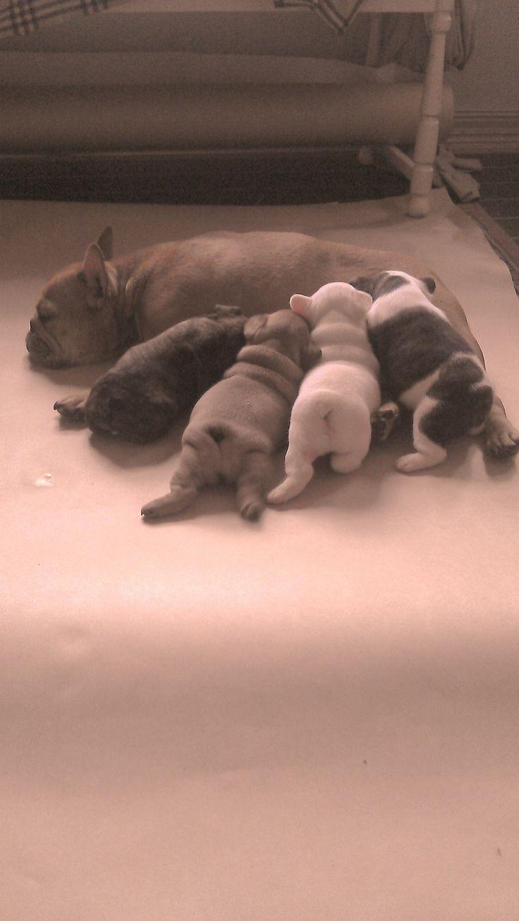 Frenc bulldog nursing her frenchie kids!
