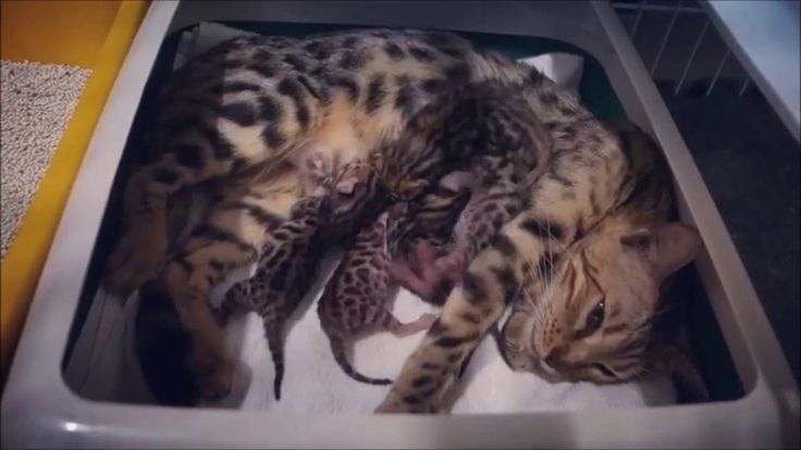 Cat Giving Birth Into A Kittens at http://youtu.be/XDHx3TjK9eg Cat Giving Birth Into A Kittens Gave birth to a baby into the world is not easy nor things experienced by your pet. cat birth Cat is an animal with the highest number of possible childbirth. Cat can give birth to many at one time. They will pull out the baby and then licking it as a sign to clean the baby.  They looked very distress when their baby is being issued. Cat giving birth will look very sorry. They became very weak…