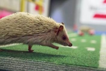 As a self-proclaimed hedgehog lover, I find it necessary to mention that hedgehogs will be cheerleaders at the 2013 Puppy Bowl on Animal Planet. You can bet I'll be tuning in!
