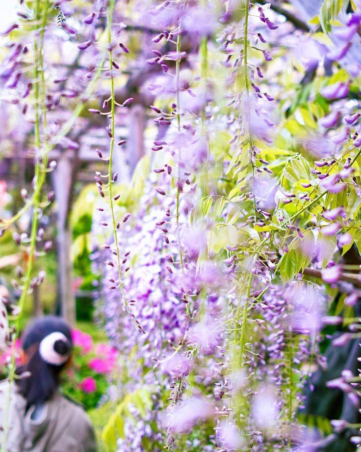 #亀戸天神 #亀戸天神藤まつり #藤の花 #東京#tokyo #wisteria #flower #photography #fujifilm #fujifilm_xseries #fujifilmxe1 http://tipsrazzi.com/ipost/1507850854270972533/?code=BTs9lzvFzJ1