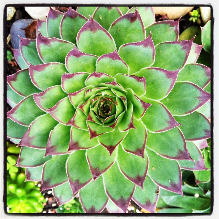 Flowering Succulent Plants | succulents