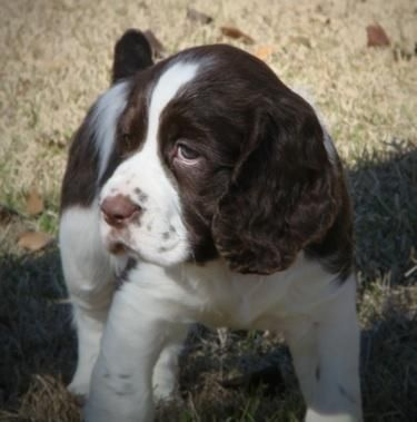 English Springer Spaniel pup   I had a beautiful Springer for 15 years and she looked just like this when I brought her home