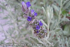 Lavender is a perennial herb growing 2-3 feet tall. Leaves are gray-green, narrow, and about 2 inches long. Purplish-blue flowers grow in 2-3 inch long clusters on spikes at the top of stems.