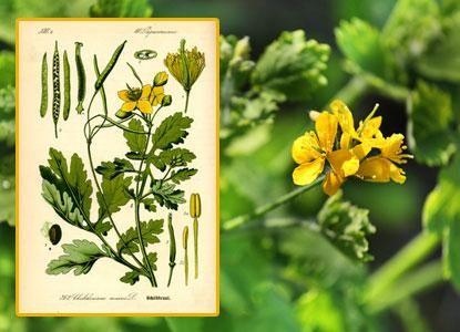 Chélidoine verrue, propriétés, vertus : phytothérapie