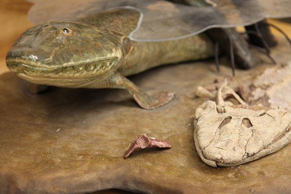 Images: Weird Ancient Fish Fossil (Titktaalik) | LiveScience