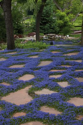 Blog: Groundcovers You Can Step On. Tips on which groundcovers will take foot traffic and make a great alternative lawn. Shown here: Turkish Speedwell (Veronica liwanensis)