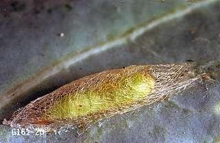 Diamondback Moth | Department of Horticulture | Oregon State University
