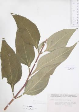 Helianthus tuberosus (Jerusalem artichoke)