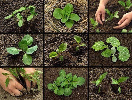 ТоматПосадка семян — середина — конец марта Высадка в открытый грунт в возрасте 55-70 дней(когда минует угроза заморозков) При наличии теплицы или парника семена сажают пораньше, выращивают с подсве…