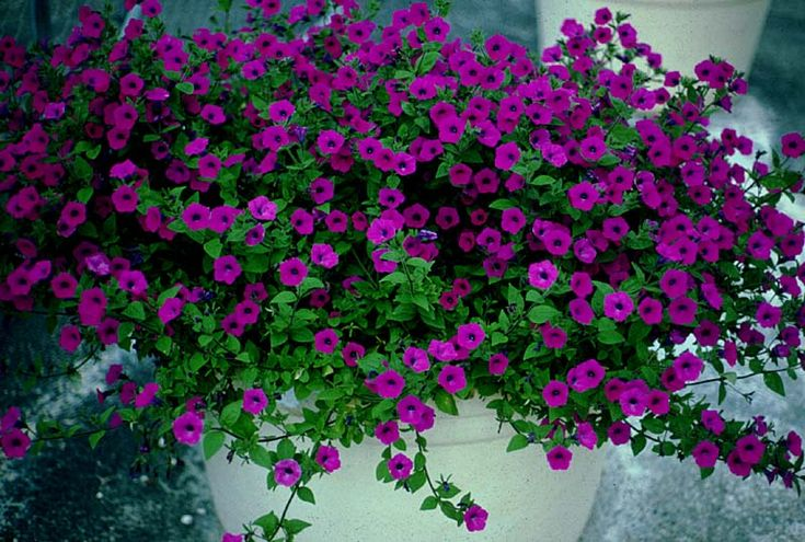 Laura Bush petunia.  We survive Texas winter and Texas summer. Very beautiful. I have it in my front year. Great performer.
