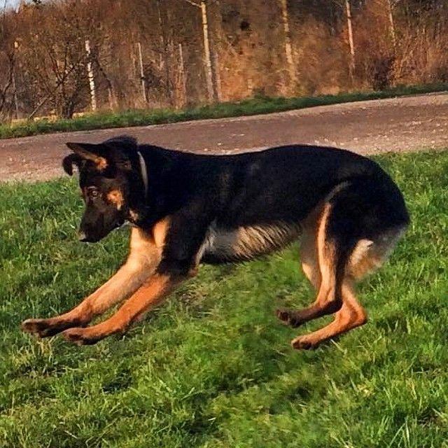 Klar parat spring! - tak for billedet Amalie :) #dog #dogs #doglife #dyr #dansk #natur #jump #spring #sport #sommer #sol #hund #hunde #poter #pote #potebox