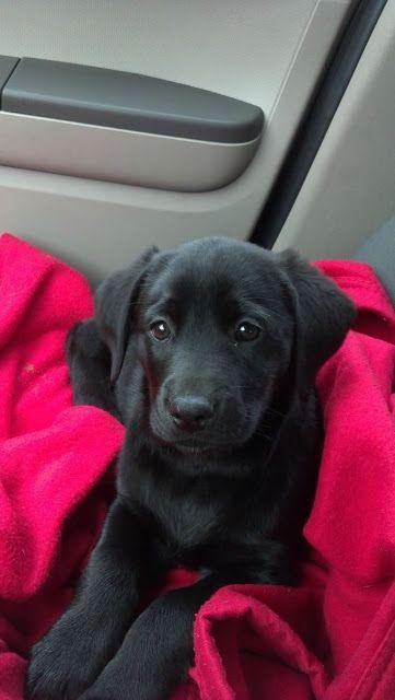 Cute black lab sitting in car